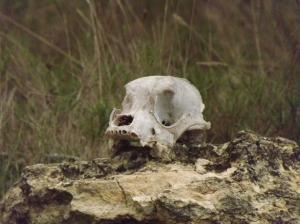 An animal skull
