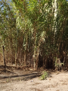 Bamboo tree at the parking