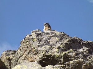 Our first marmot