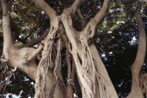 Fig tree.